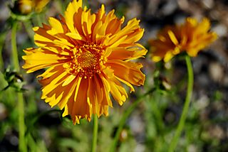 Blog Flower Coreosposis