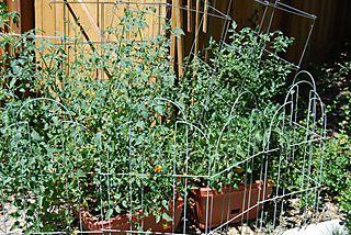 Blog Tomato Update