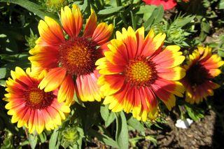 Bldr flower 809.JPG