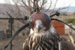 AA Hawk with hat.JPG