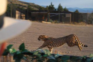 AA Cheetah 1.JPG