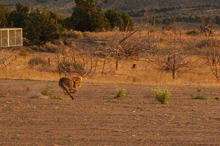 AA Cheetah 3.JPG