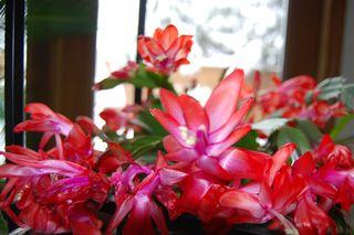 Christmas Cactus 2009