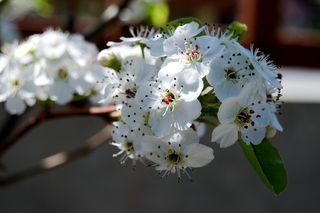 Garden Pear Tree 410.JPG