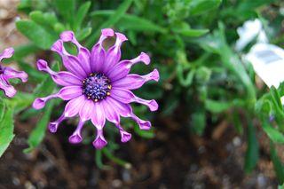 Nasinga Purple Whirligig.JPG
