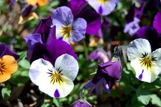 Garden Violets 410.JPG