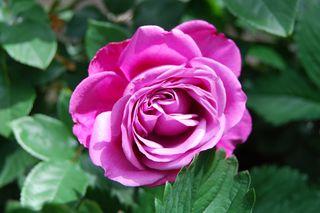 Pink rose 610.JPG