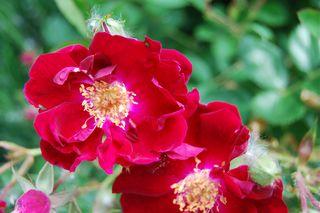 Red Rose 610.JPG