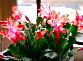 Blog_christmas_cactus